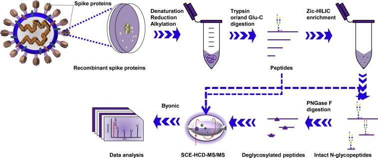 Workflow for site-specific N-glycosylation characterization of recombinant SARS-CoV-2 S proteins using two complementary proteases for digestion and an integrated N-glycoproteomic analysis.
