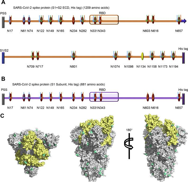 N-glycosites characterization of SARS-CoV-2 S proteins. (A and B) N-glycosites of the recombinant SARS-CoV-2 S protein or subunits expressed in insect cells (A) and human cells (B). PSS: putative signal sequence; RBD: receptor-binding domain; S1/S2: S1/S2 protease cleavage site; Oval: potential N-glycosite; Yellow oval: ambiguously assigned N-glycosite; Red oval: unambiguously assigned N-glycosite; Blue arrow: unambiguously assigned N-glycosite using trypsin digestion; Green arrow: unambiguously assigned N-glycosite using Glu-C digestion; Yellow arrow: unambiguously assigned N-glycosite using the combination of trypsin and Glu-C digestion. The unambiguously glycosite was determined by at least twice identification within each digestion list in Table S1 and Table S2 . (C) N-glycosites were demonstrated in the three-dimensional structure of the SARS-CoV-2 S protein trimers (PDB code: 6VSB). RBDs, yellow; N-glycosites, blue.