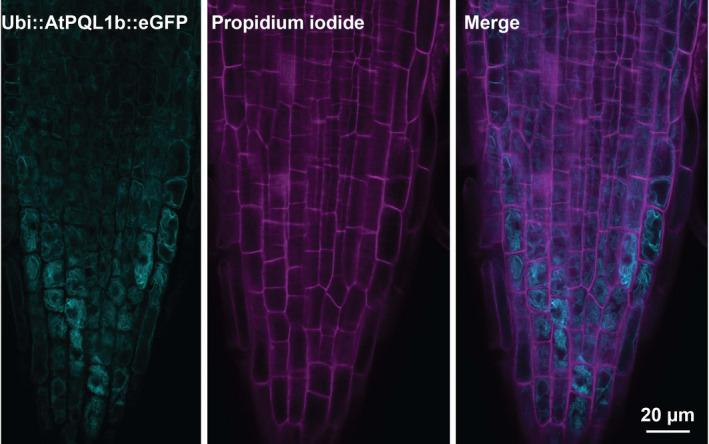 AtPQL1b localizes in the internal membrane compartments in stably transformed Arabidopsis root tips. The root tips of stably transformed Arabidopsis plants were imaged using confocal laser scanning microscopy. The left panel shows the root epidermal cells stably transformed with UBQ10p::AtPQL1b‐GFP . The middle panel shows the propidium iodide staining of the same cells, while the right panel is the merge between the two channels. Similar results were observed in 12 replicates, visualized during 3 independent microscopy sessions