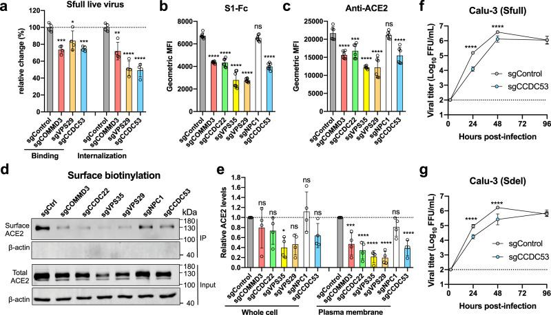 Host genes that regulate the surface expression of receptor ACE2 are identified. a The effect on virion binding and internalization in gene-edited cells. A549-ACE2 cells were incubated with SARS-CoV-2 Sfull infectious virus on ice for binding or then switched to 37 °C for internalization. Viral RNA was extracted for RT-qPCR analysis (two experiments; n = 4; one-way ANOVA with Dunnett's test; mean ± s.d.). b , c Surface expression of receptor ACE2 was decreased in gene-edited cells as measured by flow cytometry using S1-Fc recombinant protein or anti-ACE2 antibody (2 experiments; n = 7 ( b ) or 6 ( c ); one-way ANOVA with Dunnett's test; mean ± s.d.). d , e Surface and total expression of receptor ACE2 were decreased in gene-edited cells. The plasma membrane proteins were biotin-labeled and immunoprecipitated by streptavidin beads for western blotting. One representative blot was shown ( d ) and data are pooled from four independent experiments, quantified, and normalized to the controls of individual experiments ( e ) (four experiments; n = 4; one-way ANOVA with Dunnett's test; mean ± s.d.). f , g The impact on viral production in CCDC53 gene-edited Calu-3 cells. The mixed cell population was infected with Sfull ( f ) or Sdel ( g ) to assess the virus yield (two experiments; n = 6; two-way ANOVA with Sidak's test). * P