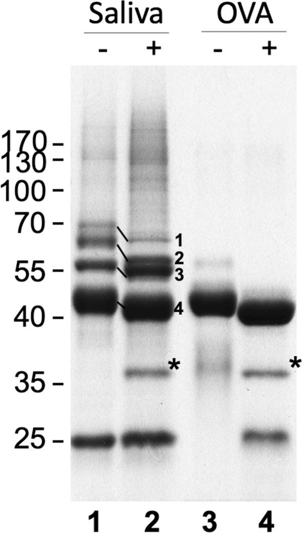 Analysis of G . morsitans salivary glycoproteins. 10 μg of G . morsitans salivary proteins (lanes 1 and 2) and 10 μg of egg albumin (lanes 3 and 4) were incubated overnight with (2 and 4) and without (1 and 3) PNGase F. After digestion, proteins were resolved by SDS-PAGE and Coomassie blue-stained. There was a notable shift in migration in 4 bands following PNGase F treatment. After in-gel trypsinization and MALDI-TOF MS analysis these bands were identified as 5' Nucleotidase (1), TSGF 2/Adenosine deaminase (2), TSGF 1 (3), and Tsal 1/2 (4). *, PNGase F enzyme.