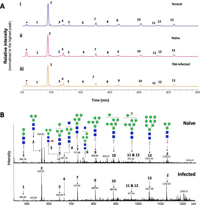Analysis of tsetse salivary  N -linked glycans in teneral, naïve and trypanosome-infected flies. (A) Comparison of HILIC-UHPLC profiles of salivary  N -glycans released by PNGase F. Analysis of 2AB-labelled glycans from (i) teneral, (ii) naïve, and (iii) trypanosome-infected saliva. Relative abundances are indicated in   Table 2 . Tbb,  Trypanosoma brucei brucei . (B) Positive-ion ESI-MS analysis of procainamide labelled  N- glycans from adult naïve and trypanosome-infected saliva. Spectra are shown for naïve (top) and trypanosome-infected (bottom) saliva. Numbers refer to the structures shown in   Table 1 . Green circle, mannose; blue square,  N -Acetylglucosamine; red triangle, fucose; Proc, procainamide. Peaks labelled with an asterisk refer to buffer contaminants.