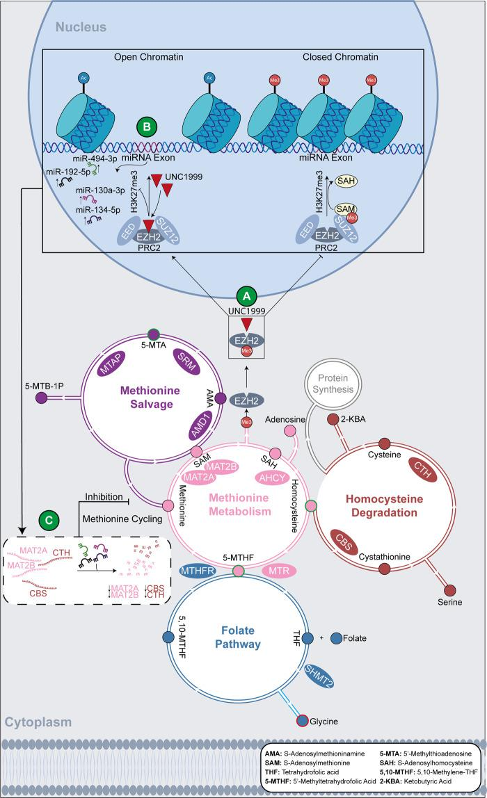 Schematic representation of the downstream effects of EZH2i on the metabolic profile of sensitive MM cell lines. A UNC1999 inhibits the activity of EZH2. B This prevents EZH2 from methylating H3, thus resulting in loss of H3K27me3 and open chromatin. As a consequence, the tumour-suppressor miRNAs miR-494-39, miR-192-5p, miR-130a-3p and miR-134-5p, which are silenced by H3K27me3 under basal conditions, are upregulated. C The tumour-suppressor miRNAs downregulate their target genes ( MAT2A , MAT2B , CBS and CTH ), which encode for enzymes involved in methionine cycling. This dysregulates methionine cycling and results in variation of metabolite abundance, such as accumulation of homocysteine. Metabolites in each pathway are indicated by small circles, which are colour coded with the same colour of the pathway they participate in. Metabolites that vary in abundance post UNC1999 treatment are marked by either a red (decreased abundance) or a green (accumulation) border.