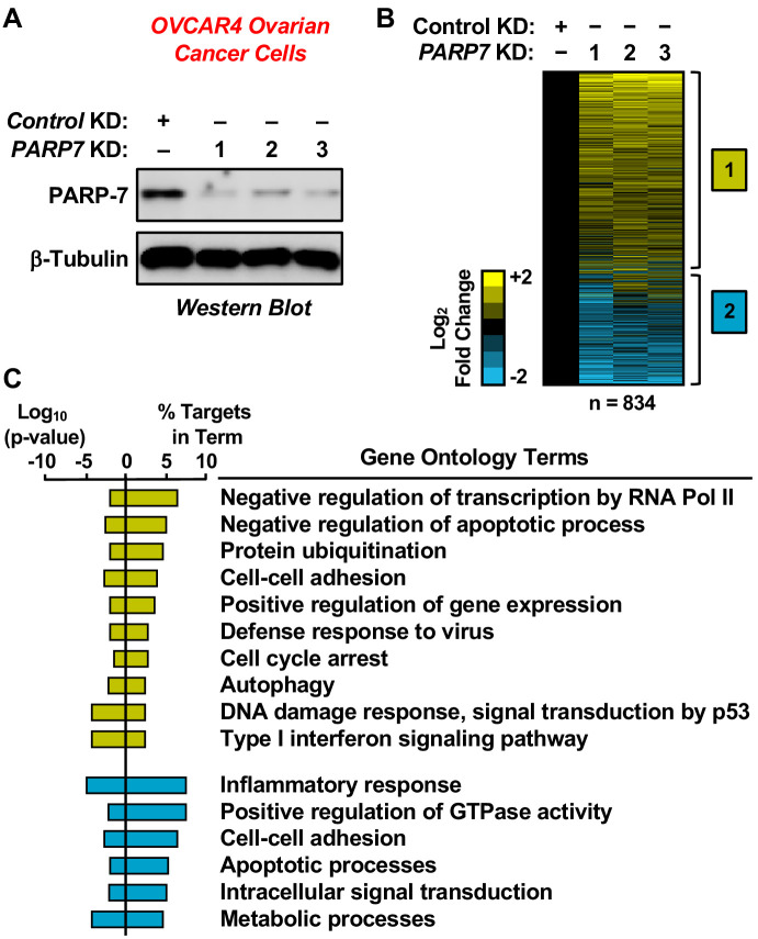 RNA-seq analysis of gene expression in ovarian cancer cells following PARP-7 depletion. ( A ) Western blots showing PARP-7 protein levels after siRNA-mediated knockdown (KD) of PARP7 in OVCAR4 cells. Three different siRNAs were used. β-tubulin was used as loading control. ( B ) Heat maps showing the results of RNA-seq assays from OVCAR4 cells upon siRNA-mediated knockdown (KD) of PARP7. Three different siRNAs were used. Results represent fold changes in FPKM values for genes significantly regulated versus the control KD, expressed as log 2 fold change. A fold change ≥1.5 was classified as upregulated, while a fold change ≤−0.5 was classified as downregulated. ( C ) Gene ontology terms enriched for the significantly upregulated genes ( yellow ) and significantly downregulated genes ( blue ) shown in ( B ). The percent of targets from each GO term identified in the analysis is shown, along with the log 10 p-value for the enrichment.