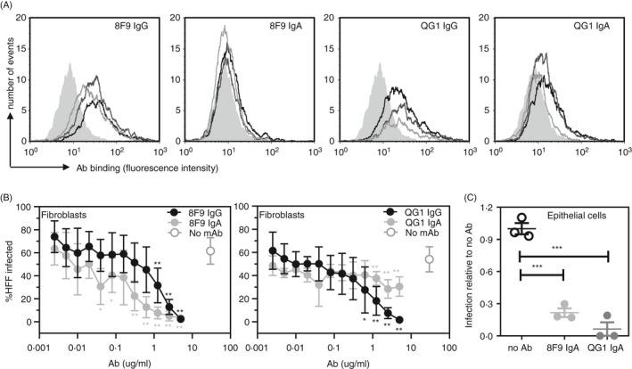 AD‐2 specific IgA mAbs neutralize HCMV in vitro. (A) Isotype‐matched mAbs 8F9 (IgG1 and IgA1) and QG1 (IgG1 and IgA1) binding to NS0 cells engineered to express the N‐terminal fragment of gB (NS0‐gBNT) as measured by flow cytometry. Grey filled histogram, secondary Ab alone: mAb – 2 µg/ml (black line), 1 µg/ml (dark grey line) and 0.2 µg/ml (light grey line). (B) Neutralization assays for HCMV infection of human foreskin fibroblasts (HFFs) represented as percentage of cells infected with high passage Merlin strain of HCMV. 8F9 IgG1, 8F9 IgA1, QG1 IgG1 and QG1 IgA1 were titrated with data shown as representative of 2 independently performed experiments. (C) Neutralization assay for HCMV (TB40/e) infection of human epithelial cells (ARPE‐19) represented as infection relative to no Ab control (assigned 1.0). 8F9 IgA1 and QG1 IgA1 were diluted 1:3 and assayed in triplicate. Statistical differences between the mean values of each mAb compared with no mAb for each concentration were obtained from the Mann–Whitney test (no asterisk is not significant; * P