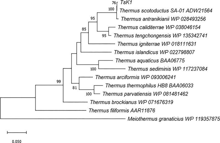 Phylogenetic tree showing the evolutionary relationship between Ts K1 DNA polymerase and other Thermus DNA polymerases based on maximum likelihood analysis. The tree with the highest likelihood (7699.30) is shown, and the bootstrap value (1000 replicates) for each clade is shown next to each branch. The final dataset contained 824 positions. All positions containing gaps or missing data were eliminated (complete deletion option). Bar indicates 0.05 substitutions per amino acid position. Evolutionary analyses were conducted using MEGA X