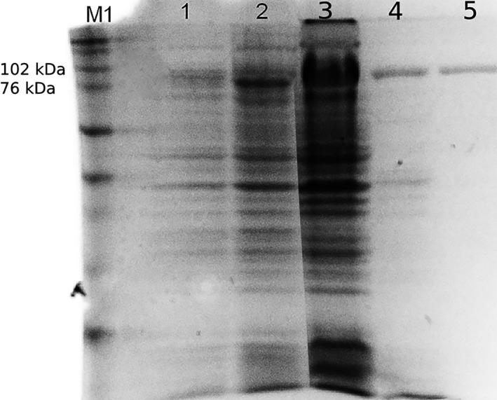 Sodium dodecyl sulfate‐polyacrylamide gel electrophoresis of Ts K1 DNA polymerase purification: (1) noninduced culture, (2) induced culture, (3) sonicated extract from host cells, (4) supernatant after heat treatment, 5) purified protein, M1—Full Range Rainbow molecular‐mass marker (Amersham)