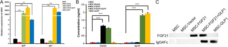 The expression of FGF21 and GLP1 in gene-modified MSCs. a Quantitative real-time PCR detected the expression of FGF21 and GLP1 mRNA in FGF21- or/and GLP1-modified cells. Unmodified MSCs and blank vector-modified MSCs were controls. The intracellular β-actin gene was used as a reference gene, ** P