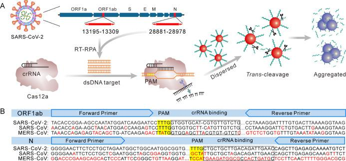 RT-RPA-Coupled Cas12a for Colorimetric Detection of SARS-CoV-2; (A) Schematic Illustration of the Strategy Design; The Whole Process Consists of Three Steps: RT-RPA of the Selected SARS-CoV-2 Genome Region, Cas12a Activation and Colorimetric Detection; (B) SARS-CoV-2 Genome Alignment of the Selected Target Region in the ORF1ab Gene and the N Protein gene; The Accession Numbers of SARS-CoV-2, SARS-CoV, and MERS-CoV Genomes Were NC_045512.2, AY278741.1, and NC_019843.3, Respectively