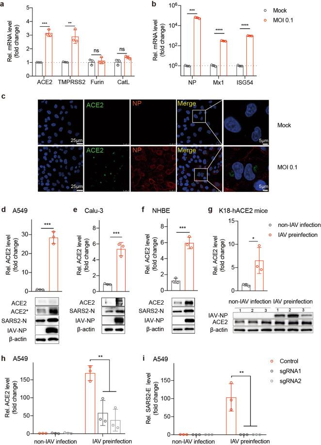 ACE2 is essential for IAV promotion of SARS-CoV-2 infection. a, b A549 cells were mock-infected or infected with WSN at an MOI of 0.1. At 12 h.p.i., total RNA was extracted from cells, and ACE2, TMPRSS2, Furin, and CatL mRNA levels ( a ) or NP, Mx1, and ISG54 mRNA levels ( b ) were evaluated via qRT-PCR using the SYBR green method. The data are expressed as fold changes relative to the mock infections. c A549 cells were infected with WSN at an MOI of 0.1. IAV NP protein (red) and ACE2 (green) were detected with an immunofluorescence assay at 12 h.p.i. Scale bars are shown. A549 ( d ), Calu-3 ( e ), and NHBE ( f ) cells were preinfected with WSN at an MOI of 0.1 for 12 h. Cells were then infected with live SARS-CoV-2 at an MOI of 0.01 for another 48 h. Total RNA was extracted from cells, and ACE2 mRNA was evaluated via qRT-PCR using the SYBR green method. The protein expression levels of ACE2, SARS-CoV-2 N gene, IAV NP, and β-actin were measured via western blotting assay. * means increased exposure to visualize ACE2. ( g ) The relative mRNA levels of ACE2 were measured in lung homogenates from the indicated groups, and the protein expression of IAV NP and ACE2 was detected via western blotting. ( d – g ) The data are expressed as fold changes relative to the non-IAV infection control. ( h – i ) To establish ACE2 knockdown cells, A549 cells were transduced with lentivirus encoding the CRISPR-Cas9 system with two guide RNAs targeting ACE2 (sgRNA1 and sgRNA2) or control guide RNA. Cells were infected with live SARS-CoV-2 at an MOI of 0.01 with or without IAV infection using the same procedure described above. The ACE2 (qRT-PCR) ( h ) and SARS-CoV-2 E gene (Taqman-qRT-PCR) ( i ) mRNA levels were detected. The data are expressed as the fold change relative to the non-IAV infection control. Values represent means ± SD of three independent experiments. * P