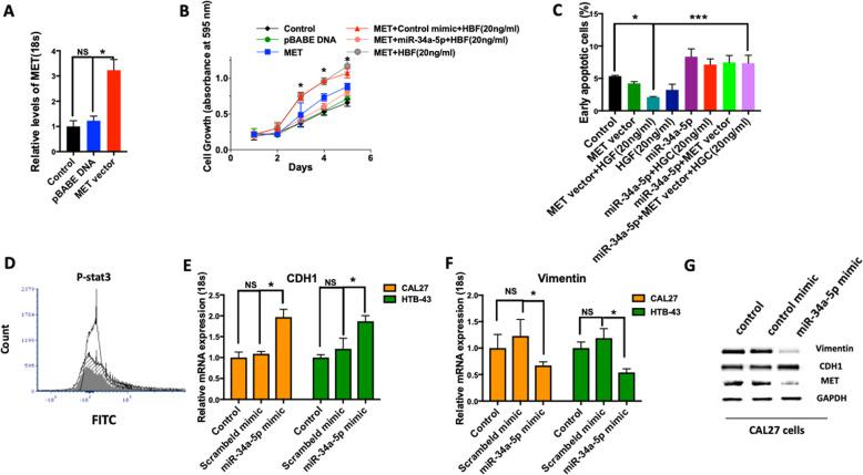 The anti-tumorigenic effect of miR-34a is dependent on MET, and miR-34a-5p inhibits epithelial mesenchymal transition (EMT). a MET vector or control vector (pBABE) were introduced to CAL27 cells and levels of MET mRNA expression were quantified by RT-qPCR. b miR-34a-5p (25 nM) mimic was administrated to the MET overexpressing CAL27 cells and cell proliferation was measured after 24 h using MTT assay. MET signaling was stimulated with HGF (20 ng/ml). c Percentage of early apoptotic cells were determined by Annexin V and PI in MET overexpressing CAL27 cells with and without introduction of miR-34a-5p mimic. MET signaling was stimulated with HGF (20 ng/ml). d Effect of miR-34a-5p on STAT3 protein phosphorylation (shaded line: control; open line: HGF (20 ng/ml); gray line: HGF (20 ng/ml) + miR34a-5p mimic). e , f Relative mRNA expression of epithelial marker (CDH1) and mesenchymal marker (Vimentin) were quantified 48 h after introduction of the miR control mimic or miR-34a-5p mimic by Lipofectamine RNAiMAX in CAL27 cells. RT- qPCR data was normalized using 18 s. g Protein expression of CDH1 and Vimentin were determined after 48 h administration of miR-34a-5p mimic or control mimic in CAL27 cells using western blot. Data represent results of at least three independent experiments. Data is presented as mean ± SD. * indicates p