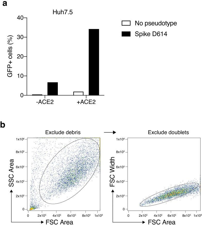 Increased transduction of SARS-CoV-2 Spike-pseudotyped lentivirus in human cells that constitutively overexpress the human <t>ACE2</t> receptor. ( a ) Percent of EGFP+ cells at 6 days post-transduction with 100 μL of supernatant SARS-CoV-2 Spike (D614) pseudotyped lentivirus and unpseudotyped lentivirus in human liver Huh7.5 with and without ACE2 overexpression. ( b ) Flow cytometry gating for GFP quantification. Cells were first gated by the forward and side scatter area to exclude debris and then doublets were excluded by gating on forward scatter area and width.