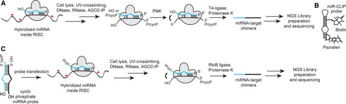 Cross‐linking strategies of miRNAs to their mRNA targets in CLIP protocols. (A) Ligation of miRNA‐mRNA target pairs in miRISC after controlled treatment of the target mRNA with RNase A or T1 during CLASH [ 15 ] or CLEAR‐CLIP [ 14 ] methods; chimeras are formed with low efficiency after 5′‐phosphorylation and T4‐ligase mediated end‐joining. RNA sequencing reveals the miRNA, its mRNA target, and the site of interaction. (B) MiR‐CLIP probes use psoralen to cross‐link to their target mRNAs. MiRNA‐mRNA target pairs are enriched by biotin–streptavidin enrichment [ 6 ]. (C) The proposed protocol (this study). MiRNA‐mRNA chimeras may form with high efficiency after RtcB‐mediated ligation of cyclic phosphate‐terminated miRNA probes to the 5′‐hydroxyl terminus of the target RNA. RNA sequencing reveals the miRNA, its mRNA target, and the site of interaction.
