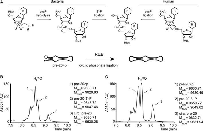 Mechanistic details of RtcB‐mediated RNA > p ligation (A) Different mechanisms suggested for bacterial and human RNA > p ligation. Direct ligation between RNA 5′‐OH and 2′, 3′‐cyclic phosphate termini has been suggested in HeLa lysate [ 19 , 37 , 38 ]. For bacterial RtcB, hydrolysis of the 2′, 3′‐cycP to a 3′‐P terminus and subsequent ligation of the 3′‐P terminus has been suggested [ 29 , 30 , 31 , 32 , 33 , 34 , 35 , 36 ]. (B) RtcB‐mediated cyclization of the stem‐loop RNApre‐20 > pin H 2 16 O and (C) H 2 18 O. RtcB ligation was performed at 37 °C for 1 h in the presence of 50 m m Tris/HCl (pH = 8), 1 m m MnCl 2 , 0.1 m m GTP, 0.75 µ m RtcB and 0.5 µ m pre‐20 > p. Ligation was quenched through the addition of Na 2 EDTA to a final concentration of 50 m m . LC‐MS analysis was performed on an Agilent 1200/6130 system fitted with a Waters acquity UPLC OST C‐18 column (2.1 × 50 mm, 1.7 μm) at 65 °C, with a gradient of 5–35% eluent B in 14 min with a flow rate of 0.3 mL·min −1 . Eluent A was aqueous hexafluoroisopropanol (0.4 M) containing triethylamine (15 m m ). Eluent B was methanol. UV trace (260 nm) between 7.5 and 10 min is shown. B = nucleobase.