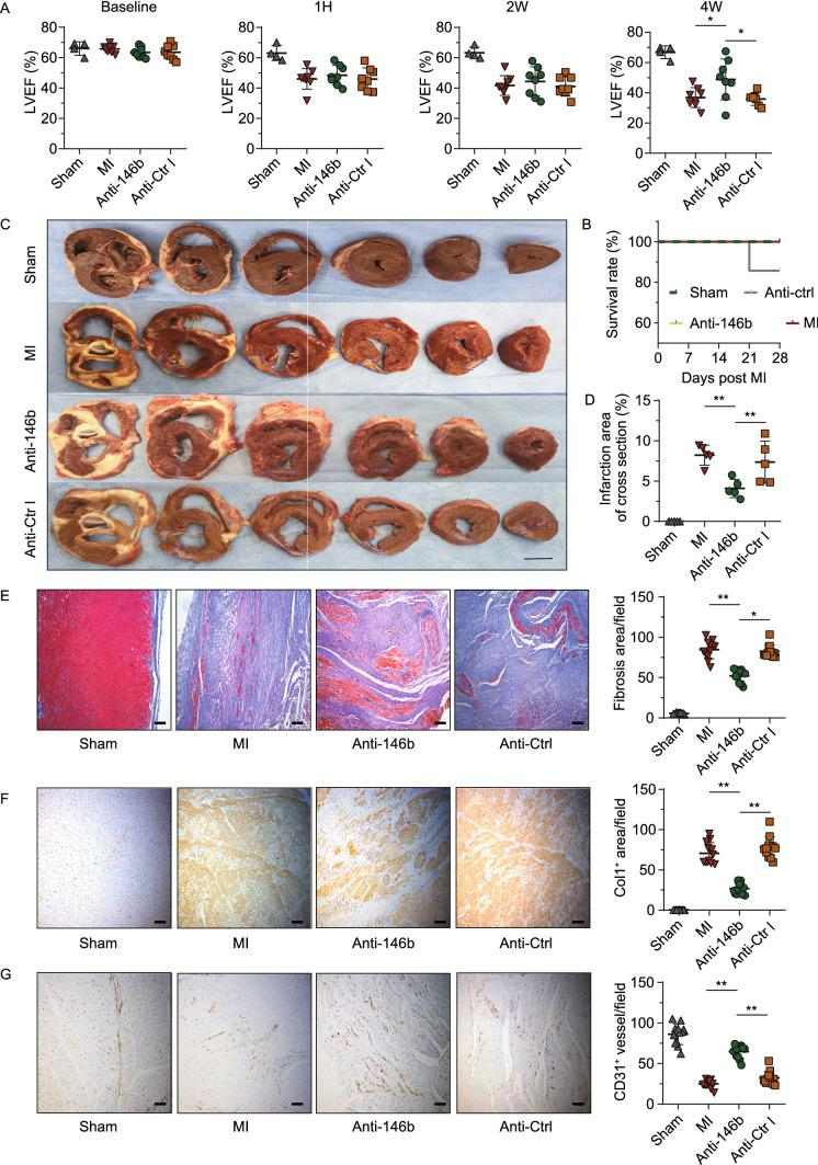 Therapeutic modulation of miR-146b-5p relieves cardiac fibrosis and remodeling in MI pig. (A) The LVEF of the experimental pigs was analyzed using echocardiography at different time points (sham group: n = 4, other groups: n = 8 each). (B) The survival analysis of the experimental groups. The survival curve was plotted using the Kaplan-Meier method. Pigs were sacrificed 4 weeks after MI. (C) Representative slices of the porcine myocardium. Infarction areas are indicated by the blue dashed line. Bar = 1 cm. (D) Infarction area analysis. Five whole heart sections per group were randomly selected, and the percentage of infarction area to total area in cross section was calculated. (E–G) The representative images for histological and immunohistochemical staining are shown (10 random fields per group, bar = 100 μm), indicating fibrosis, as per Masson's staining (E); expression of collagen type 1 (Col1, F); and CD31 + capillaries (G). Cell apoptosis was analyzed by TUNEL staining (Fig. S5). Data are expressed as the mean ± SD. * P