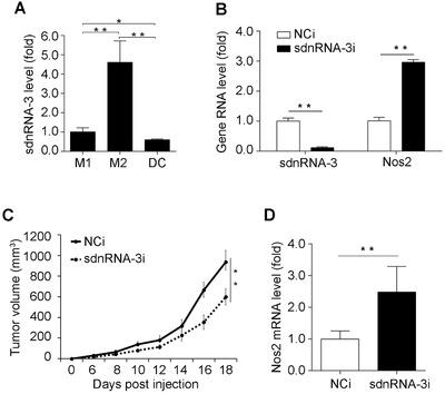 sdnRNA‐3 in macrophages promotes tumor growth by repressing Nos2 transcription. ( A ) RT‐qPCR analysis of sdnRNA‐3 in M1 and M2 TAMs, and DCs isolated from B16 allograft ( n = 3). Data were normalized by U6 and compared with the M1 group. ( B ) M2 TAMs isolated from B16 allograft were transfected with LNA‐modified sdnRNA‐3 inhibitor (sdnRNA‐3i) and NCi for 36h, RNA levels of indicated genes were detected by RT‐qPCR. ( C, D ) Peritoneal macrophages were transfected with LNA‐modified sdnRNA‐3 inhibitor (sdnRNA‐3i) and NCi for 24h. 5 × 10 6 cells were injected intravenously into each recipient mouse ( n = 6) every 4 days from day 0 when B16‐F10 cells were transplanted. Animals were monitored regularly for tumor growth ( C ). RNAs of M2 TAMs isolated from B16 allografts at day 18 were subjected for RT‐qPCR analysis of indicated gene RNAs ( D ). Data of RT‐qPCR analysis were normalized with GAPDH or U6 and compared to control groups. Data were representative of three independent experiments. Error bars denoted SD. * P