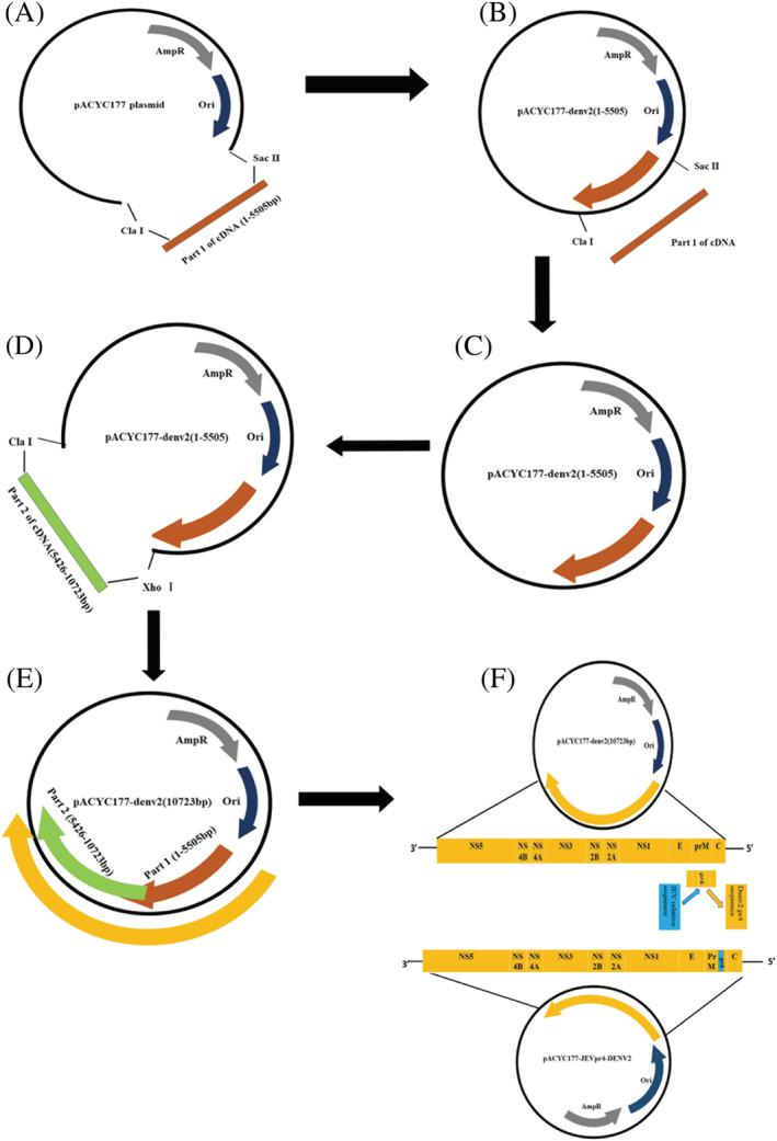 The steps of constructing of pACYC177‐JEVpr4DENV2 plasmid. (A) The structure of pACYC177 plasmid. (B) The pACYC177 plasmid was digested by Sac II and Cla I and purified; specific PCR products were purified. (C) Construction of a part of pACYC177‐DENV2(1–5505) cDNA infectious clone using an In‐Fusion™ <t>HD</t> <t>cloning</t> <t>kit.</t> (D) The pACYC177‐DENV2(1–5505) plasmid was digested by Xho I and Cla I and purified; specific PCR products were purified. (E) Construction of a full‐length pACYC177‐DENV2(10723) cDNA infectious clone using an In‐Fusion™ HD cloning kit. (F) pACYC177‐DENV2(10723) plasmid was digested by Sac II and Spe I. The construction of pACYC177‐JEVpr4DENV2 plasmid is shown
