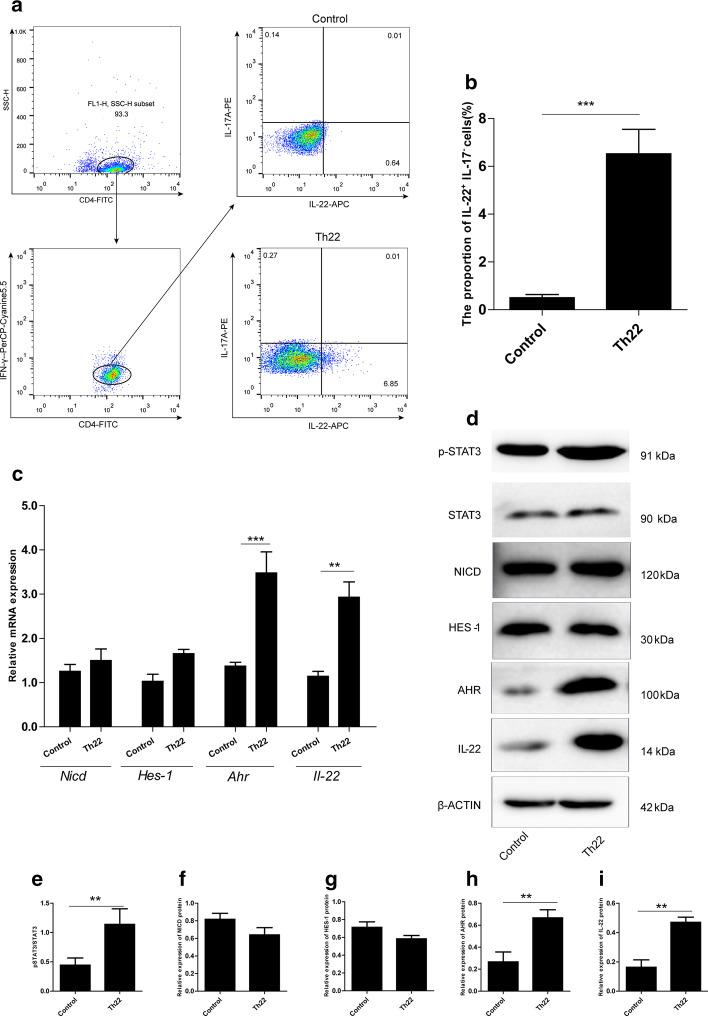 Naïve CD4 + T cells could be differentiated into Th22 cells with multiple cytokines in vitro. Naïve CD4 + T cells were collected from mice and cultured for 6 days in conditions designed to induce Th22 differentiation (anti-CD3/CD28 Abs, anti-IFN-γ Ab, anti-IL-4 Ab, IL-6, TNF-α, and IL-23). a Representative plots of naïve CD4 + T cells stimulated for 6 days under optimal Th22 conditions. CD4 + T cells and Th (CD4 + IFN-γ − ) were gated by flow cytometry to analyze the Th22 cells. b Percentage quantitation of Th22 cells. c The alterations of Nicd , Hes-1 , Ahr , and Il-22 mRNAs were evaluated by RT-PCR. d Western blotting of the expression of p-STAT3, STAT3, NICD, HES-1, AHR, and IL-22 in total protein lysates from different treatment cells. e–i Representative densitometric quantification of p-STAT3, STAT3, NICD, HES-1, AHR, and IL-22 expression in T cells, β-ACTIN was used as an endogenous control for protein expression. The results show a typical experiment; each bar represents the mean ± S.E.M. of at least three independent experiments. ** p