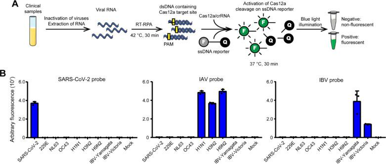 Specific detection of SARS-CoV-2, IAV, and IBV. (A) Schematic illustration of CALIBURN and coupled RT-RPA reaction. F, fluorophore. Q, quencher. (B) Investigation of the specificity of CALIBURN on each pathogen. For each virus, 5 μL of the extracted nucleic acids is added to each reaction without dilution. The viral copies are in the range of 10 6 –10 7 per reaction for different viruses. The RT-RPA primers are SARSCoV2-S-FWD-1/SARSCoV2-S-REV-1 for SARS-CoV-2, IAV-M-FWD/IAV-M-REV for IAV, and IBV-HA-FWD/IBV-HA-REV for IBV, respectively ( Table S1 ). The crRNA probes are SARSCoV2-S-crRNA2 for SARS-CoV-2, IAV-M-crRNA3 for IAV, and IBV-HA-crRNA4 for IBV, respectively ( Table S2 ). The data from three biological replicates are shown as mean ± SD.