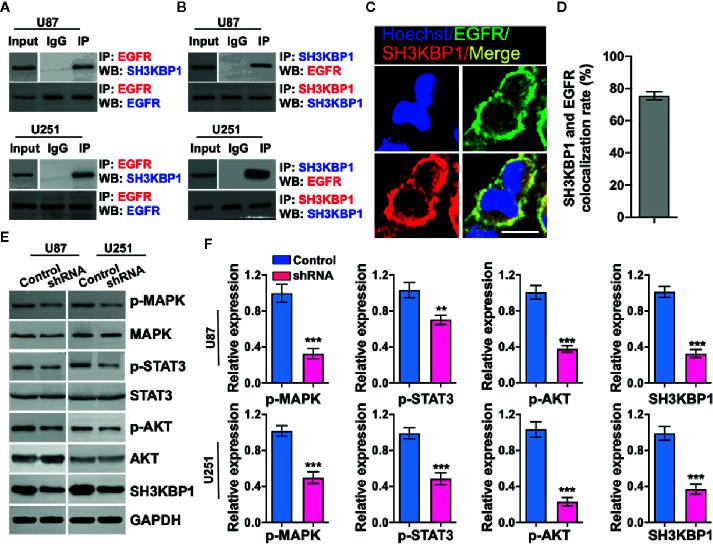 SH3KBP1 directly and physically interacts with and activates epidermal growth factor receptor (EGFR) signaling. (A) SH3KBP1 physically interacts with EGFR determined by Co-IP assay. (B) EGFR physically interacts with SH3KBP1 determined by Co-IP assay. (C) Confocal analysis of the co-localization of SH3KBP1 and EGFR in U87 cells. Cells were stained with SH3KBP1 (red), EGFR antibody (green) and merged images are shown. Scale bar: 50 µm. (D) Quantitative data for (C) (n=6). (E) Depletion of SH3KBP1 significantly inhibits EGFR signaling downstream genes expression. (F) Quantitative data for (E) . *, ** and *** indicate as p