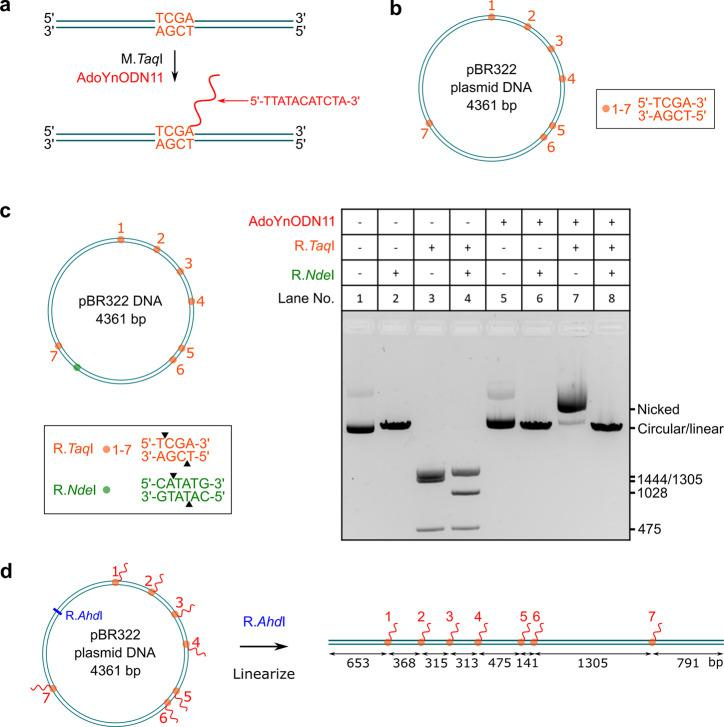 Sequence-specific labeling of DNA with an oligodeoxynucleotide (ODN). (a) Modification of the DNA at the sequence 5′-TCGA-3′ using M. Taq I and AdoYnODN11 cofactor. The site was covalently labeled with an ODN containing 11 nucleotides (5′-TTATACATCTA-3′). (b) Distribution of the target sequence (5′-TCGA-3′) sites on <t>pBR322</t> plasmid DNA. (c) Confirmation of the modification using restriction enzymes. The left panel shows the distribution of the sites of the restriction enzymes. The right panel shows the analysis by agarose gel electrophoresis. (d) Linearization of the pBR322 DNA for nanopore measurement. The labeled DNA was linearized with the restriction endonuclease R. Ahd I which cleaves the pBR322 plasmid at a single site.
