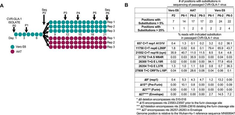 Sequence changes observed in SARS-CoV-2 CVR-GLA-1 following in vitro propagation. (A) A schematic of the passage history of the SARS-CoV-2 CVR-GLA-1 virus in Vero E6 and AAT cells. Each filled circle represents 1 day of propagation. (B) A summary of the variation generated during the passage of the CVR-GLA-1 virus indicated in panel A. The variation is detailed in S1 Table . The percentage of the viral swarm displaying all variants that exceed 5% or 25% of the swarm at any time point is shown. The percentage occurrence of several deletion mutants is highlighted for interest. AAT, A549-ACE2-TMPRSS2; SARS-CoV-2, Severe Acute Respiratory Syndrome Coronavirus 2.