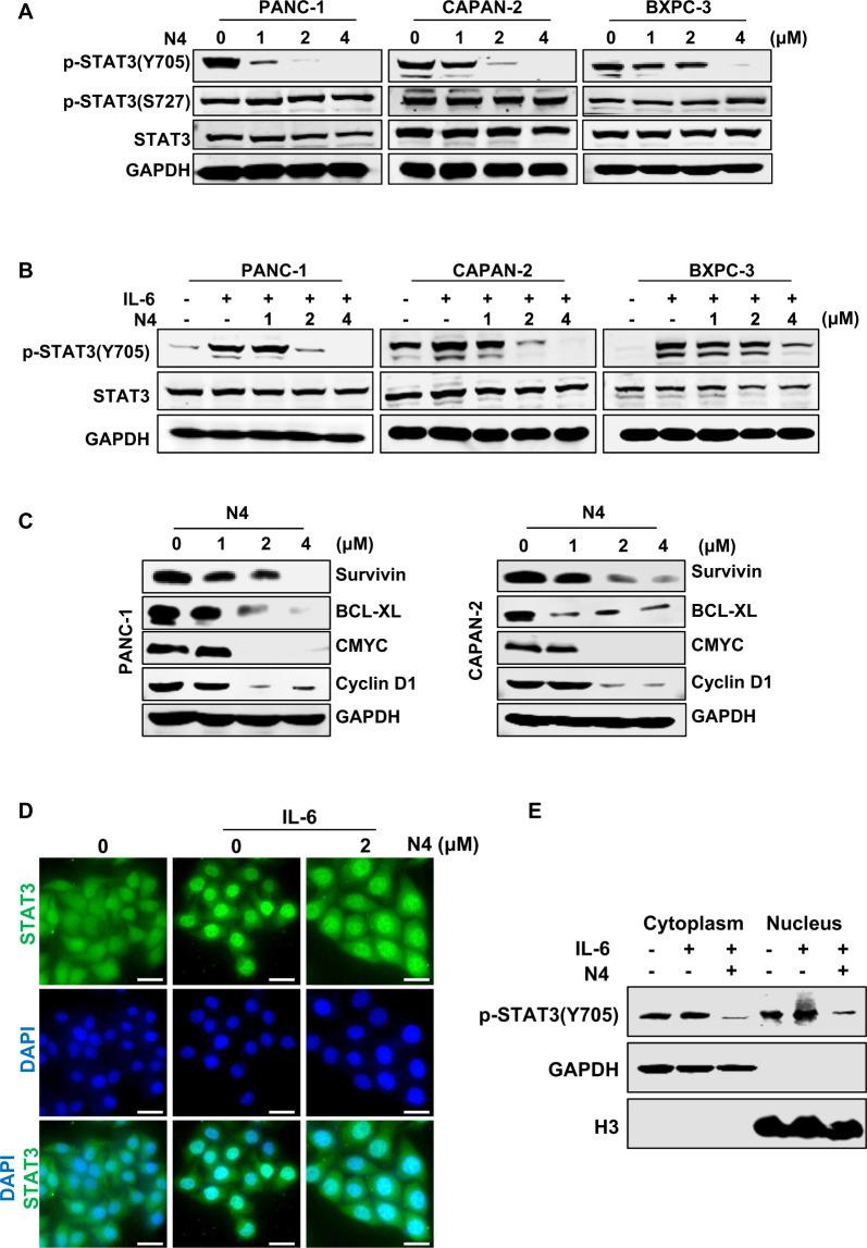 N4 inhibits STAT3 activation in pancreatic cancer cells. A PANC-1, CAPAN-2, and BXPC-3 cells were treated with the indicated concentrations of N4 for 24 h. Then, p-STAT3 (Y705), p-STAT3 (S727), and STAT3 were detected by western blot assays with glyceraldehyde 3-phosphate dehydrogenase (GAPDH) used as the loading control. B Pancreatic cancer cells were starved in a medium lacking fetal bovine serum (FBS; basic medium) for 24 h, and then pretreated with N4 in basic medium for 24 h. Then, stimulated with IL-6 (20 ng/mL) for 30 min and lysed for western blot analysis using the indicated antibodies. C Expression levels of STAT3 downstream genes were detected by western blot following treatment of PANC-1 and CAPAN-2 cells with N4. D PANC-1 cells were seeded and allowed to attach, and then pretreated with 2 μM of N4 in FBS-free medium for 24 h. The cells were stimulated for 30 min using IL-6 (20 ng/mL). The STAT3 antibody (green) and 4, 6-diamidino-2-phenylindole (DAPI) (blue) was used for staining and STAT3 and the nucleus, respectively. The samples were photographed and analyzed. The scale bar represents 20 μm. E After 24 h treatment with 2 μM N4, PANC-1 cells were stimulated with IL-6 (20 ng/mL) for 30 min, and the cytoplasmic and nuclear extractions were analyzed by western blot. p-STAT3 (Y705) was used to detect STAT3, and GAPDH and H3 were used as the cytoplasm and nucleus internal control, respectively.
