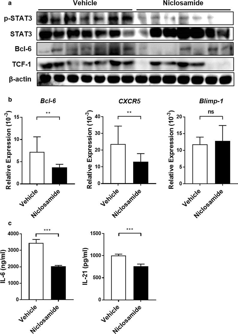 Niclosamide treatment reduces T FH -associated gene and cytokine levels in the spleens of MRL/ lpr mice. a p-STAT3, Bcl-6, and TCF-1 expression in the spleen were analyzed by western blot. b mRNA expression levels of Bcl-6 , CXCR5 , and Blimp-1 in CD4 + T cells purified from spleens for each group of mice were measured by real-time PCR. c The levels of IL-6 and IL-21 in the spleen homogenates were detected by ELISA. Data shown as mean ± SD. t-test was performed. ** P