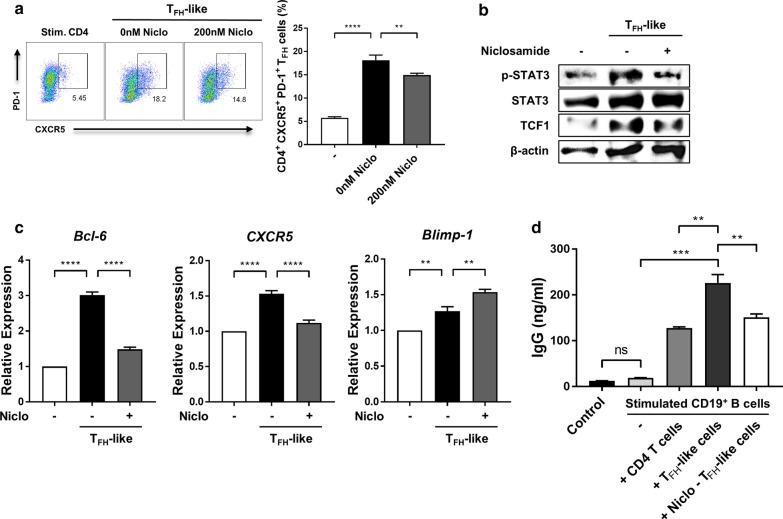 Niclosamide inhibits T FH -like cell differentiation and B cell IgG production in vitro. Naive CD4 + T cells were purified from the spleens of MRL/ lpr and C57BL/6 mice. For T FH -like cell differentiation, purified CD4 + T cells were activated with mouse T-activator CD3/CD28 Dynabeads, and treated with 20 ng/ml IL-6, 20 ng/ml IL-21, 10 μg/ml anti-IL-4, 10 μg/ml anti-IFN-γ, and 20 μg/ml anti-TGF-β for 4 days with or without niclosamide. a Left, T FH -like cells (CXCR5 + PD-1 + , gated on CD4 + ) isolated from MRL/ lpr mice were analyzed by flow cytometry. Right, the percentage of T FH -like cells is shown. b p-STAT3 and TCF-1 expressions in T FH -like cells isolated from MRL/ lpr mice were analyzed by western blot. c mRNA expression levels of Bcl-6 , CXCR5 , and Blimp-1 in T FH -like cells isolated from MRL/ lpr mice were measured by real-time PCR. d T FH -like cells and B cells isolated from C57BL/6 mice were co-cultured with or without T FH -like cells for 3 days, and then the concentrations of IgG in the supernatants were detected by ELISA. Data shown as mean ± SD. One-way ANOVA was performed. ** P