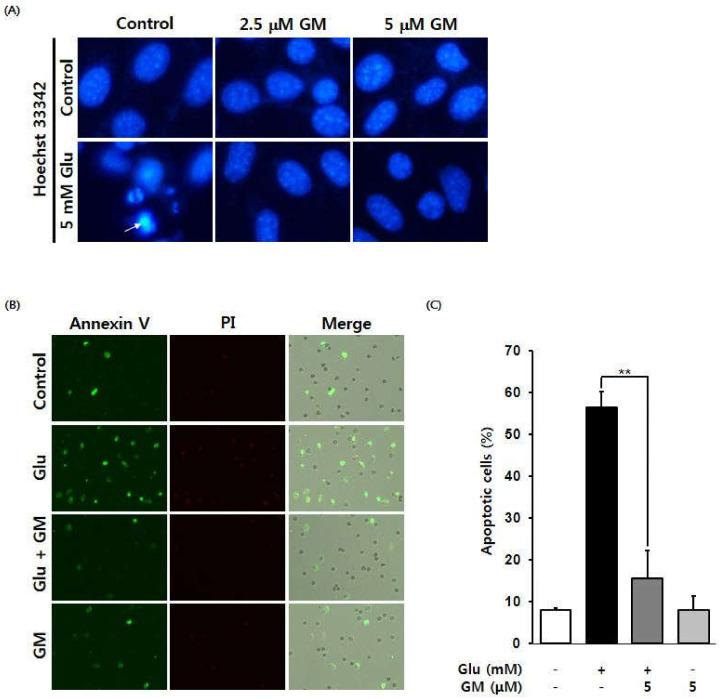 Effect of γ-mangostin (GM) on glutamate (Glu)-induced apoptotic cell death in HT22 cells. ( A ) Inhibitory effect of GM on Glu-induced chromatin condensation in HT22 cells. GM reduced Glu-induced annexin V-positive cells; annexin V-positive cells appear green. ( B ) The effect of GM on apoptosis was measured by fluorescence imaging using a Tali-Image-based cytometer. ( C ) Quantitative representation of the effect of GM on the proportion of apoptotic cells (annexin V-positive cells). Cells were treated with 5 mM Glu and 2.5 or 5 μM GM for 12 h and were then stained with Hoechst 33342. Images were obtained using a fluorescence microscope (20× magnification). Fluorescent images of cells stained using annexin V (green) and PI (red) and a merged image (bottom). The proportion of apoptotic cells was quantitatively analyzed to confirm the effect of GM (mean ± SEM, **  p
