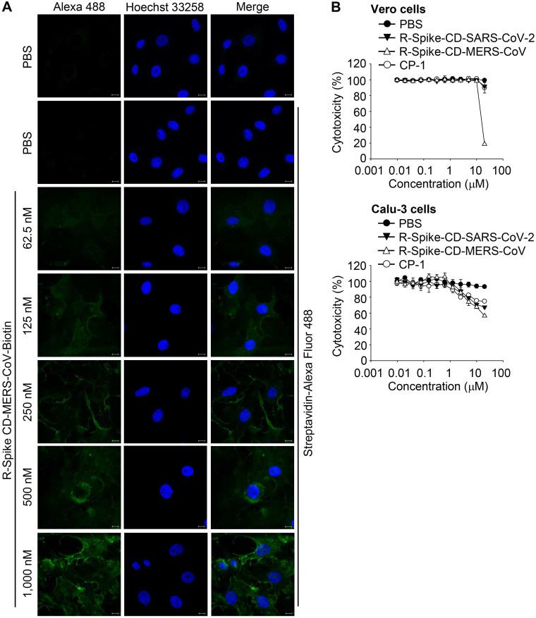 Localization of MERS-CoV R-Spike CD in Vero cells and cytotoxicity of the cell-penetrating peptides. (A) Vero cells were cultured for 24 h and then incubated with R-Spike CD-MERS-CoV-Biotin peptide for 30 min in a 5% CO 2 incubator at 37 °C. The samples were fixed with 4% paraformaldehyde and permeabilized with 0.1% triton X-100. Cell-penetrated R-Spike CD-MERS-CoV-Biotin peptide was detected using Alexa Fluor-488-conjugated Streptavidin (Green) and a Carl Zeiss LSM710 microscope. Nuclei were stained with Hoechst 33258 (Blue). Scale bar, 10 µm. (B) Effect of cell-penetrating peptides on the growth of Vero cells and Calu-3 cells. Vero cells or Calu-3 cells were cultured with the indicated concentrations of cell-penetrating peptides for 3 days. The cells were incubated with CCK-8 solution, and then, soluble formazan was measured using a microplate reader. R-Spike CD-MERS-CoV, the peptide corresponding to the C-terminal domain of the MERS-CoV S protein conjugated with nine D-arginine residues at the N-terminus; R-Spike CD-MERS-CoV-Biotin, a biotinylated R-Spike CD-MERS-CoV peptide; R-Spike CD-SARS-CoV-2, the peptide corresponding to the C-terminal domain of the SARS-CoV-2 S protein conjugated with nine D-arginine residues at the N-terminus; R-CP-1, a nine D-arginine-conjugated control peptide.