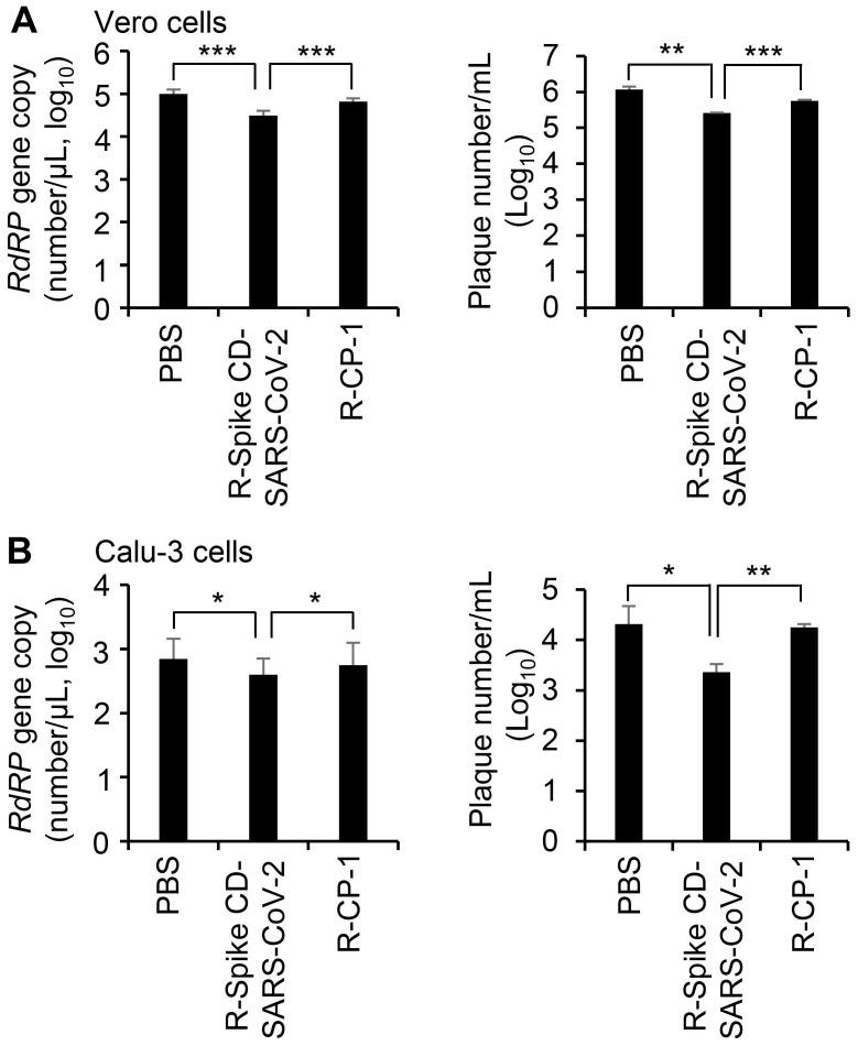Effect of R-Spike CD-SARS-CoV peptides on the replication of SARS-CoV-2. (A and B) Vero cells (A) and Calu-3 cells (B) infected with SARS-CoV-2 (0.1 MOI) and then treated with PBS or 2 μM of cell-penetrating peptides (R-Spike CD-SARS-CoV-2 or R-CP-1) at 6 h after virus infection (n = 3). Supernatants of virus-infected cell cultures were collected at 24 h after virus infection. Virus replication was quantified by qRT-PCR analysis of the SARS-CoV-2 RdRP gene (left) and plaque formation assay (right). * p