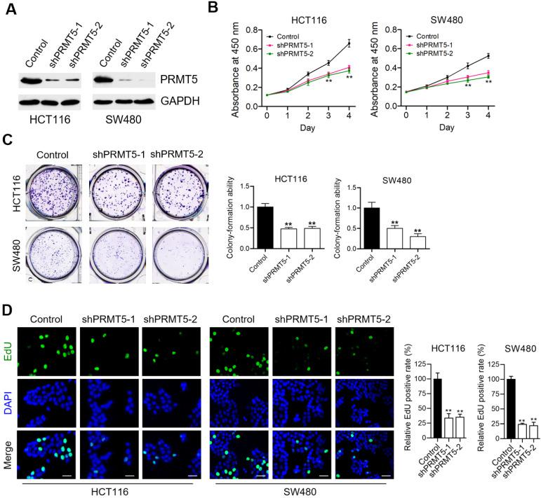 PRMT5 depletion retards CRC cell proliferation in vitro . ( A ) Immunoblot analysis of PRMT5 expression in control, shPRMT5-1 and shPRMT5-2-infected HCT116 and SW480 cells. GAPDH was used as loading control. ( B ) Cell proliferation of HCT116 and SW480 cells treated with control, shPRMT5-1 and shPRMT5-2 was evaluated by CCK-8 assay at the same time point of each day. ** P