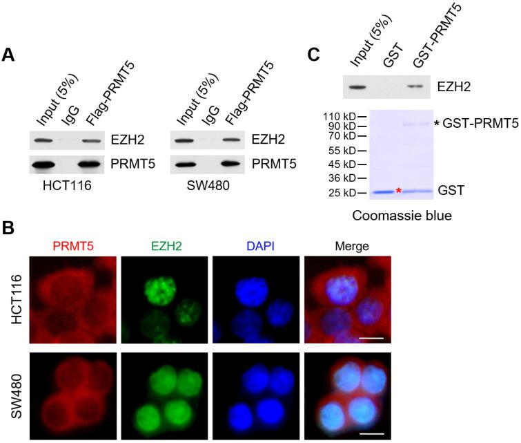 PRMT5 associates with EZH2 in CRC cells. ( A ) Co-immunoprecipitation of endogenous EZH2 from HCT116 and SW480 cells overexpressing Flag-tagged PRMT5. IgG was used as the negative control. ( B ) Western blot analysis of EZH2 binding to purified GST and GST-tagged PRMT5 using EZH2 antibody (top). GST and GST-tagged PRMT5 from E. coli BL21 (DE3) strain were visualized by staining with Coomassie brilliant blue R-250 (bottom). The red asterisk and black asterisk were GST and GST-tagged PRMT5, respectively. ( C ) The subcellular location of endogenous PRMT5 and EZH2 proteins was analyzed in HCT116 and SW480 cells by immunofluorescence microscopy. Scale bar: 10 µm.