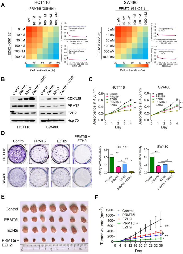 Synergistic effect of combined treatment with PRMT5i and EZH2i. (A) Drug dose-response matrix for proliferation inhibition of HCT116 and SW480 cells treated with PRMT5i (GSK591) and EZH2i (GSK126). Color gradation indicates percentage viability at the indicated dose combination. Combination index (CI) plots for 100 nM PRMT5i (GSK591) (top) or EZH2i (GSK126) (bottom) with graded doses of EZH2i (GSK126) or PRMT5i (GSK591) in HCT116 and SW480 cells. ( B ) Immunoblots of PRMT5, EZH2 and CDKN2B (p15 INK4b ) protein levels in HCT116 and SW480 cells following treatment with PRMT5i (GSK591; 100 nM), EZH2i (GSK126; 100 nM), or PRMT5i (GSK591; 100 nM) + EZH2i (GSK126; 100 nM). GAPDH was used as a loading control. ( C ) Cell proliferation of HCT116 and SW480 cells treated with PRMT5i (GSK591; 100 nM), EZH2i (GSK126; 100 nM), or PRMT5i (GSK591; 100 nM) + EZH2i (GSK126; 100 nM) by CCK-8 assays at the same time point of each day. ** P