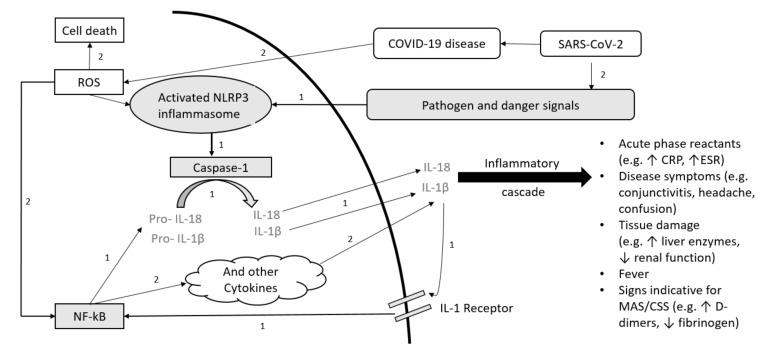 Schematic overview of the pathogenesis for IL-1-mediated autoimmune disease (AID) and COVID-19. (1.) Pathogenesis of NLRP3 Inflammasome associated AID ( gray ): Inflammasome formation is induced by a variety of triggers. Activated NLRP3 subsequently drives caspase-1 activation. Caspase-1 mediates transformation from pro-IL-1β and pro-IL-18 to active IL-1β and IL-18. The positive feedback loop stimulates NF-kB. (2.) SARS-CoV-2 pathogenesis ( white ): SARS-CoV-2 can stimulate a hyperinflammatory immune response with epithelial cell-mediated production of reactive oxygen species (ROS). ROS can stimulate NF-kB and NLRP3. Both pathways (1. and 2.) result in increased cytokine levels with laboratory signs and clinical symptoms associated with hypercytokinemia. Abbreviations: SARS-CoV-2: severe acute respiratory syndrome coronavirus 2; COVID-19: coronavirus disease 2019; ROS: reactive oxygen species; NLRP3: (NOD)-like receptor protein 3; NF-kB: nuclear factor kappa B; IL: interleukin; CRP: C-reactive protein, ESR: Erythrocyte sedimentation rate, MAS: macrophage activation syndrome; CSS: cytokine storm syndrome.