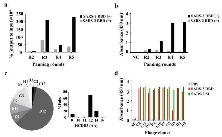 Panning of the phage-displayed synthetic Fab library on an immobilized SARS-2 receptor-binding domain (RBD). ( a ) Monitoring of the phage titers over four rounds (R2–R5) of panning. Black and gray bars indicate the ratio of the phage output to the input titers, presented as a percentage (%), from panning on immobilized SARS-2 RBD (black, SARS-2 RBD (+)) and non-immobilized SARS-2 RBD (gray, SARS-2 RBD (−)) surfaces. The ratio of the output to the input (%) = (phage output titer ÷ phage input titer) × 100. ( b ) Phage ELISA performed on the immobilized SARS-2 RBD surfaces using each panning library phage. ( c ) Frequency of ten Fab phage clones selected in the third and fourth rounds (left) and the distribution of HCDR3 lengths (right). The selection frequency of a unique clone (%) = (number of unique clones ÷ total number of phage ELISA positives) × 100. ( d ) Monoclonal ELISA of ten Fab phage clones against the SARS-2 RBD (red) and SARS-2 S1 protein (green). AA: amino acid residue; NC: negative control.