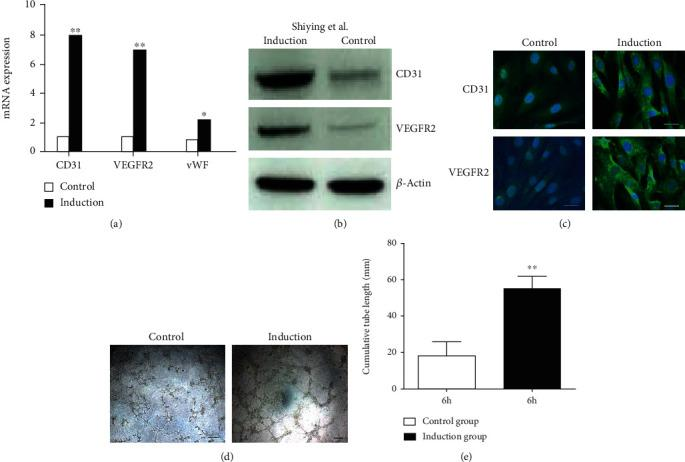 CD34 + CD117 + HGSV-AdPCs differentiated into endothelial cells in vitro . CD34 + CD117 + HGSV-AdPCs were isolated with FACS and cultured in the presence of VEGF for 7 days. (a) The mRNA expression of CD31, VEGFR2, and vWF. (b) The result of Western blotting of CD31 and VEGFR2 proteins in the induction and control groups. (c) The differentiation result of immunofluorescent staining with antibodies CD31 and VEGFR2 in control and induction groups. (d) The tube formation observed under inverse microscope at 6 hours culture in control and induction groups. (e) The difference of tube formation at 6 hours culture between control and induction groups. Scale bars: 10 μ m (c); 200 μ m (d). Magnification: 200x (a, d).