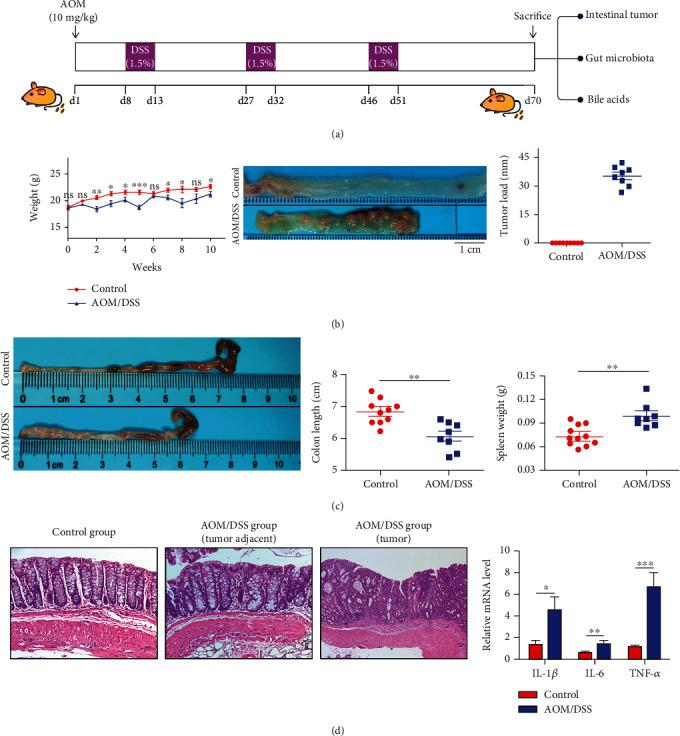 Tumor formation and severe inflammatory response in the colon of mice treated with AOM/DSS. (a) Mice received intraperitoneal injection of 10 mg/kg AOM on day 1 and followed by three circles of 1.5% DSS drinking water in the AOM/DSS group. And all mice were killed on day 70. (b) Body weight, colon lumen appearance image, and tumor load of the two groups. (c) AOM/DSS treatment shortened the colon length and increased the weight of the spleen. (d) H E staining revealed colon tumor formation and inflammatory cell infiltration in the AOM/DSS group. Real-time PCR showed the increased levels of several inflammatory cytokines (IL-1 β , IL-6, and TNF- α ) in the colon. ∗ p
