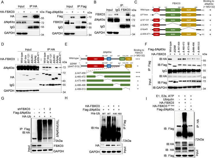 FBXO3 binds to and facilitates ΔNp63α protein Lys 48–linked polyubiquitination chains. (A) MCF-10A cells stably expressing either HA-FBXO3 or Flag-ΔNp63α were treated with 10 μM MG132 for 8 h prior to IP followed by western blotting. (B) MCF-10A cells were treated with 10 μM MG132 for 8 h and then subjected to IP with FBXO3 antibody or normal rabbit IgG, followed by western blot analyses. (C, D) A schematic representation of FBXO3 deletion mutants used in this study (C). MCF-10A cells stably expressing either WT HA-FBXO3 or a HA-FBXO3 deletion mutant were treated with 10 μM MG132 for 8 h and then subjected to IP and western blot analyses (D). (E, F) A schematic representation of deletion mutants of ΔNp63α SAM domain used in this study (E). MCF-10A cells stably expressing HA-FBXO3 and either a WT Flag-ΔNp63α or a Flag-ΔNp63α mutant were treated with 10 μM MG132 for 8 h, prior to IP and western blot analyses (F). (G) HEK-293T cells were co-transfected with a combination of expressing plasmids encoding HA-ubiquitin, Flag-ΔNp63α, shFBXO3-1, or shFBXO3-2, as indicated, for 48 h. Cells were then treated with 10 μM MG132 for 10 h, followed by IP and western blot analyses. (H) HEK-293T cells co-transfected with Flag-ΔNp63α and HA-FBXO3 in the presence of either WT His-ubiquitin, His-ubiquitin K48 (Lys 48 only), or His-ubiquitin K63 (Lys 63 only) expressing plasmids for 48 h. Cells were treated with 10 μM MG132 for 10 h prior to IP and western blot analyses. (I) In vitro ubiquitination assay. HEK-293T cells were co-transfected with Flag-ΔNp63α and either HA-FBXO3 or FBXO3 ΔF-box expressing plasmids for 48 h and then treated with MG132 for 4 h. The immunoprecipitated HA-FBXO3 or FBXO3 ΔF-box proteins on beads were added to in vitro ubiquitin reaction cocktails consisting of recombinant E1, E2s (UbcH5a and UbcH7), and ATP in the presence or absence of ubiquitin (Ub) together with aldehyde ubiquitin. Reaction mixtures were subjected to immunoblotting. IgG, immunoglobulin G; IP,
