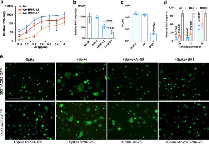 Synergistic mechanism of 8P9R enhancing the antiviral activity of arbidol. a 8P9R could enhance the antiviral activity of arbidol against SARS-CoV-2 in Vero-E6 cells ( n = 5). Virus infected cells at the presence of the indicated concentrations of arbidol (Ar) or Ar+8P9R (1.6 μg ml −1 ) or Ar+8P9R (3.1 μg ml −1 ). b 8P9R could significantly enhance the antiviral activity of arbidol when arbidol alone did not show antiviral activity ( n = 4). SARS-CoV-2 was treated by the indicated Ar-0.2 (0.2 μg m l −1 ), 8P9R-3.1 (3.1 μg ml −1 ), Ar+8P9R, or PBS (Mock). P value was compared with Ar+8P9R. c SARS-CoV-2 (10 6 PFU ml −1 ) were treated by 25 μg ml −1 arbidol, or 8P9R ( n = 3). Then virus was serially diluted to detect the viral titer by plaque assay. d SARS-CoV-2 was treated at the indicated time of post infection by the indicated drugs ( n = 3). Viral titers ( a , b and d ) were measured by RT-qPCR at 24 h post infection. Relative RNA copy was normalized to MOCK. Data in ( a – d ) are presented as mean ± SD from 3–5 independent experiments. P values in ( b – d ) were calculated by two-tailed student t test when compared with mock. e Spike-ACE2 mediated cell-cell fusion could be blocked by arbidol and endosomal acidification inhibitors (bafilomycin A1 and 8P9R). The 293T cells expressed ACE2 or spike+GFP were co-cultured at the presence of indicated 8P9R (125 or 25 μg/ml), arbidol (50 or 25 μg ml −1 ) or bafilomycin A1 (BA1, 50 nM). 8P9R (25 μg ml −1 ) and arbidol (25 μg ml −1 ) did not block cell fusion, of which the fused cells were (2–10)-fold bigger than the non-fused cells. The 293T-GFP cells without spike (-Spike) served as the negative control of cell-cell fusion. Scale bar = 100 μm. The representative pictures were taken at 8 h after co-culture. Experiments were repeated three times independently. Source data are provided as a Source Data file.