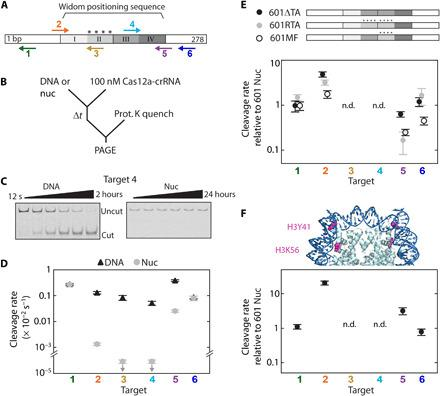 """DNA unwrapping regulates Cas12a cleavage of nucleosomal targets. ( A ) The Widom 601 positioning sequence is divided into quartiles indicating the inner (II and III) and outer (I and IV) wrap and is flanked by DNA. """"****"""": four TA dinucleotide repeats that produce tight wrapping of the inner left quartile. Arrows: Cas12a targets, pointing in the direction of R-loop formation; for top arrows, R-loop forms with the Crick (bottom) strand, and for bottom arrows, R-loop forms with the Watson (top) strand. ( B ) Cleavage reaction setup. nuc, nucleosome substrate. ( C ) Representative gels of target 4 cleavage by Cas12a. ( D ) Cleavage rates for the six DNA and nucleosome Cas12a targets at 25°C. Downward arrows signify that the value is an upper limit due to the lack of detectable cleavage. ( E ) Top: Diagram depicting variant 601 constructs (fig. S1E). Bottom: Cas12a cleavage of variant nucleosome substrates normalized to original 601 nucleosome substrate. ( F ) Top: Crystal structure of the 601 nucleosome [Protein Data Bank (PDB): 3LZ0 ( 80 )] highlighting the amino acid modifications H3Y41E and H3K56Q, which mimic H3Y41ph and H3K56ac. Bottom: Cleavage rates of H3 mutant nucleosome normalized to the original wt nucleosome. n.d., no data, as no cleavage was observed for targets 3 and 4 for all nucleosome substrates. (D to F) Each data point is the mean of at least three replicates; error bars: SEM."""