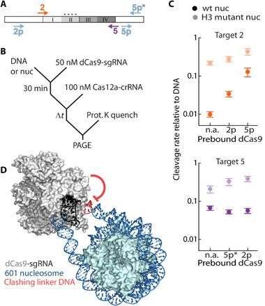 Steric interference by a proximal nuclease enhances nucleosomal DNA cleavage. ( A ) Diagram depicting dCas9 (light blue arrows) and <t>Cas12a</t> (color-coded arrows) targets. Only targets discussed in the main text are included here; others are shown in fig. S3. ( B ) Proxy-CRISPR reaction scheme. ( C ) Proxy-CRISPR nucleosome cleavage rates for indicated dCas9 and Cas12a pairs. n.a., original nucleosome cleavage rate without dCas9 prebound. Data points are normalized to the DNA cleavage rate of each target. Each data point is the mean of three replicates; error bars: SEM. ( D ) Sp Cas9 [PDB: 4UN3 ( 81 )] modeled to bind target 5p, 13 bp away from the nucleosome [PDB: 3LZ0 ( 80 )]. Linker DNA was generated using sequence to structure modeling. Extension of the distal linker DNA shows a steric clash with the bound Cas9.