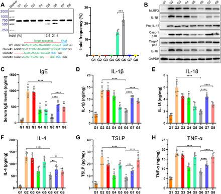 Detection of NLRP3 knockout efficiency and inflammasome-related protein expression in AD mice after the specified treatments. ( A ) Frequency of indel mutation detected by T7E1 assay from the skin tissues and representative Sanger sequencing results of T-A cloning from the skin tissue after dual MN patch treatment. ( B ) Immunoblot analysis of NLRP3 and other inflammasome protein expression in the dorsal skin homogenates. GAPDH, glyceraldehyde-3-phosphate dehydrogenase. ( C ) Serum IgE levels determined by ELISA. ( D to H ) ELISA of IL-1β (D), IL-18 (E), IL-4 (F), TSLP (G), and TNF-α (H) production in the skin tissues of mice treated with various formulations. For (A) to (H), the code denotes the following: G1, normal mice without DNCB treatment; G2, DNCB-treated mice; G3, DNCB-treated mice treated with blank MN patch; G4, DNCB-treated mice treated with Dex-loaded MN patch; G5, DNCB-treated mice treated with RNP-loaded MN patch; G6, DNCB-treated mice treated with dual-loaded MN patch; G7, DNCB-treated mice treated with Dex cream; G8, DNCB-treated mice treated with tacrolimus ointment. Means ± SD, n = 6; Student's t test, ** P