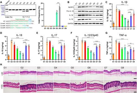 Detection of NLRP3 knockout efficiency and inflammasome-related protein expression in psoriasis mice after the specified treatments. ( A ) Frequency of indel mutation detected by T7E1 assay from the skin tissues and representative Sanger sequencing results of T-A cloning from the skin tissue after dual MN patch treatment. ( B ) Immunoblot analysis of NLRP3 and other inflammasome protein expression in the dorsal skin homogenates. ( C to G ) ELISA of IL-1β (C), IL-18 (D), IL-17 (E), IL-12/23p40 (F), and TNF-α (G) production in the skin tissues of mice treated with various formulations. ( H ) H E staining of the skin tissue sections from the mice after the specified treatments (magnification, ×40 and ×100; scale bars, 500 and 200 μm, respectively). For (A) to (H), the code denotes the following: G1, normal mice without imiquimod treatment; G2, imiquimod-treated mice without therapy; G3, imiquimod-treated mice treated with blank MN patch; G4, DNCB-treated mice treated with Dex-loaded MN patch; G5, imiquimod-treated mice treated with RNP-loaded MN patch; G6, imiquimod-treated mice treated with dual-loaded MN patch; G7, imiquimod-treated mice treated with Dex cream; and G8, imiquimod-treated mice treated with tacrolimus ointment. Means ± SD, n = 6; Student's t test, ** P