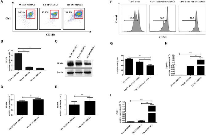TRAF6 is highly expressed in MDSCs derived from the tumor tissue of tumor-bearing mice. Approximately 1 × 10 6 LLC cells were s.c. injected in the backs of C57BL/6 mice for 28 d to establish a tumor-bearing (TB) mouse model. MDSCs were isolated by immunomagnetic beads from the spleens of TB mice, the tumor tissue of TB mice or the spleens of wild-type (WT) mice. (A) The purity of the isolated MDSCs was determined using flow cytometry via the detection of the CD11b + Gr1 + phenotype. The expression of TRAF6 in MDSCs derived from different sources was determined by qRT-PCR (B) or Western blotting (C) . The mRNA expression of TRAF6 in PMN-MDSCs and M-MDSCs derived from the spleen (D) or tumor tissue (E) . (F) CFSE-labeled CD4 + T cells were co-cultured with MDSCs derived from the spleen or tumor tissue in the presence of CD3 and CD28 stimulation. After 72 h, the proliferation of CD4 + T cells was tested via flow cytometry. (G) Statistical analyses of the percentage of proliferating CD4 + T cells co-cultured with MDSCs derived from the spleen or tumor tissue of TB mice. The mRNA expression levels of Arg1 (H) and iNOS (I) in MDSCs were measured by qRT-PCR. *** p
