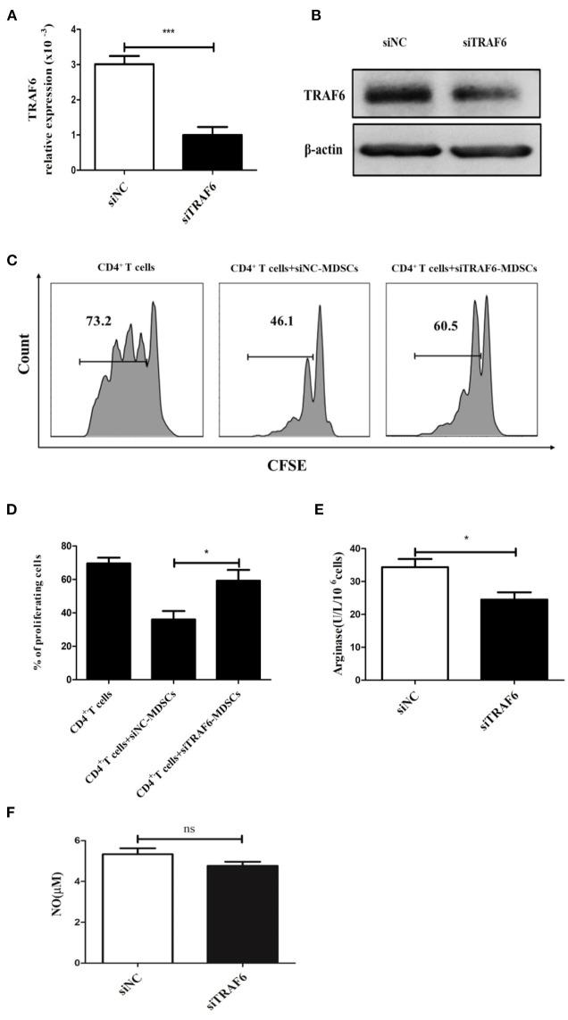TRAF6 knockdown impairs the immunosuppressive effects of <t>MDSCs</t> in vitro . Specific siRNA (siTRAF6) was used to knockdown the expression of TRAF6 in MDSCs, and the efficiency of siTRAF6 knockdown was validated by qRT-PCR (A) and Western blotting (B) . (C) Tumor-derived MDSCs were transfected with siTRAF6 and cocultured with CFSE-labeled <t>CD4</t> + T cells, and proliferation was measured by flow cytometry after 72 h. (D) Statistical analyses of the percentage of proliferating CD4 + T cells co-cultured with MDSCs transfected with siTRAF6. After TRAF6 knockdown, the activity of Arg1 was measured by a QuantiChrom arginase assay kit (E) , and the concentration of NO was determined via a Griess reagent system kit (F) . *** p