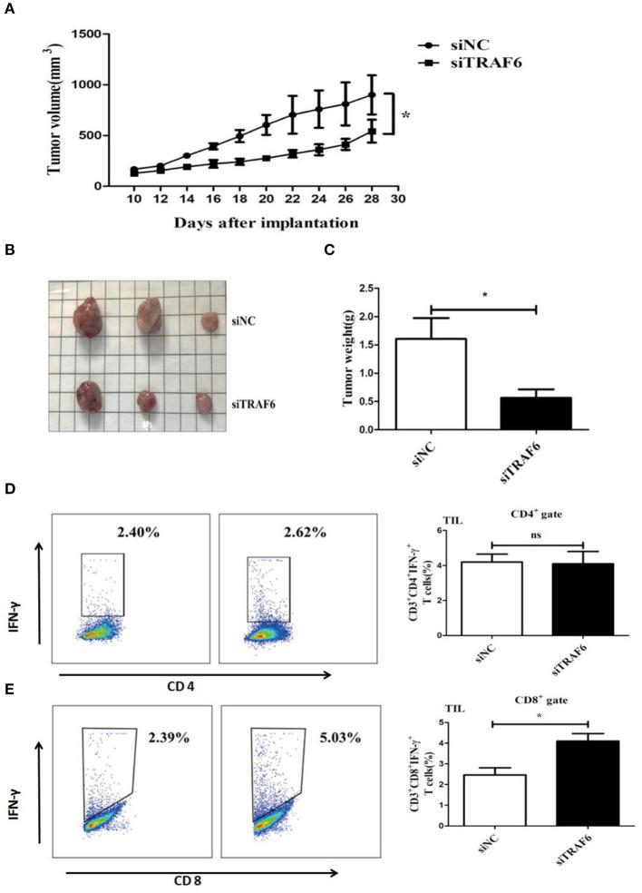 """TRAF6 knockdown attenuates the ability of MDSCs to accelerate tumor progression in tumor-bearing mice. To investigate the effects of TRAF6 on the suppressive activity of MDSCs in vivo , 2 groups of wild-type C57BL/6 mice were s.c. injected with 1 × 10 6 LLC cells and 1 × 10 6 MDSCs transfected with siTRAF6 (siTRAF6 group) or MDSCs transfected with siNC (control group). (A) Tumor growth was constantly monitored. The width """"a"""" and length """"b"""" were measured, and tumor volume was calculated. (B,C) On the 28th day after the inoculation of LLC cells, the mice were sacrificed, and the tumor image and weights were showed in both groups. (D) The proportion of CD4 + IFN-γ + Th1 cells in the tumor tissue of both groups was analyzed by FCM. (E) The proportion of CD8 + IFN-γ + CTLs in the tumor tissue of both groups was analyzed by FCM. * p"""