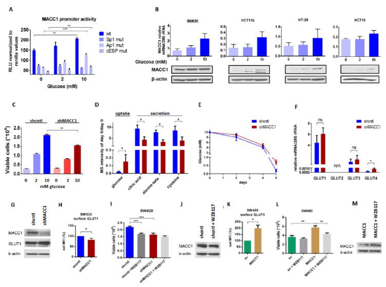Surface GLUT1 is enhanced in MACC1 high cells. ( A ) MACC1 wt. promoter activity or activity with indicated mutated Sp1, Ap1, or cEBP binding sites was measured in HCT116 cells, treated with 0 mM, 2 mM and 10 mM glucose. ( B ) MACC1 mRNA and protein expression in SW620, HCT116, HT29 and HCT15 cells treated with 0 mM, 2 mM and 10 mM glucose. ( C ) Cell viability of SW620 shcntl and MACC1 shMACC1 (knockdown) cells treated with 0 mM, 2 mM and 10 mM of glucose. ( D , E ) GC-MS screening of growth medium metabolites after 5 days of culture of SW620 shcntl and SW620 shMACC1 cells grown in basal medium (supplemented with 10 mM glucose and 2 mM glutamine). ( D ) Levels of top differential metabolites, expressed relative to day 0 with fold-change > 2 and p