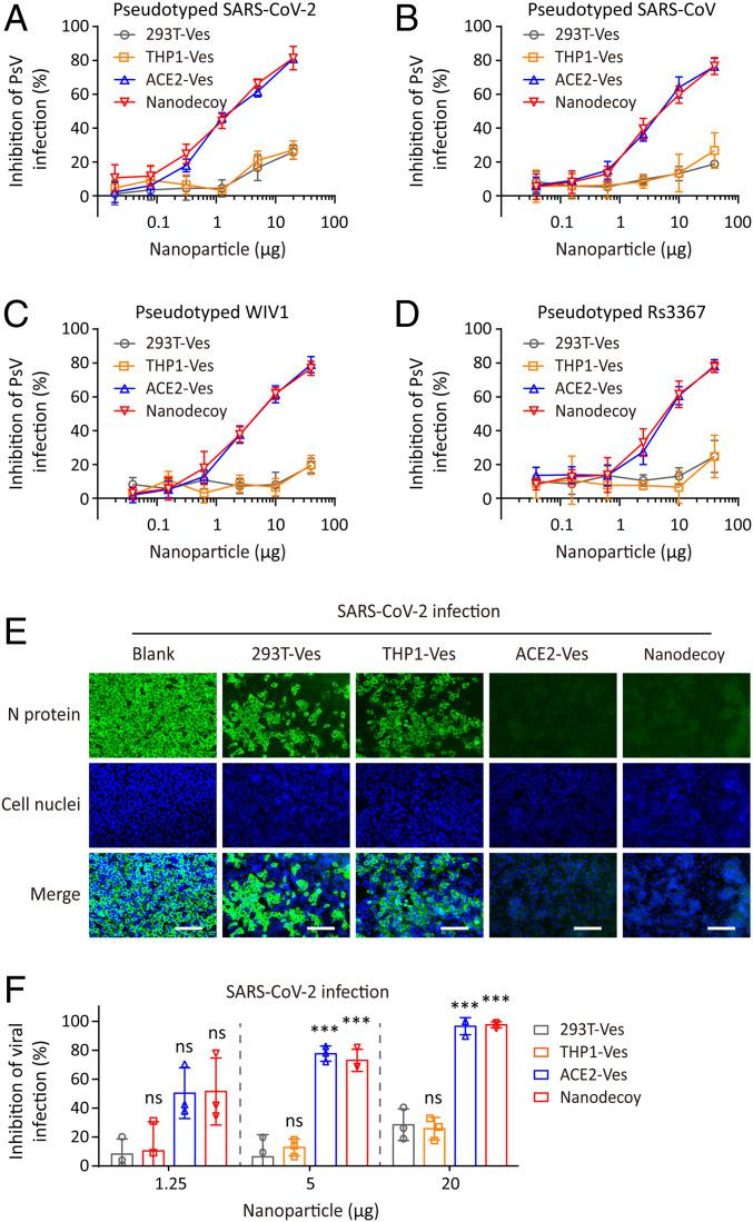 Nanodecoys inhibit pseudovirus and authentic SARS-CoV-2 infection. Inhibitory activity of nanodecoys against PsV ( A ) SARS-CoV-2, ( B ) SARS-CoV, ( C ) WIV1, and ( D ) Rs3367 infection. ( E ) Immunofluorescence images of SARS-CoV-2−infected Vero-E6 cells after treatment with nanodecoys. (Scale bars, 100 µm.) Cell nuclei and N protein of SARS-CoV-2 were labeled with DAPI (blue) and Alexa 488 (green), respectively. ( F ) Inhibitory activity of nanodecoys against SARS-CoV-2 infection on Vero-E6 cells. The nanodecoys used in this experiment contained an equal amount of ACE2 as compared with ACE2-Ves. Data points represent mean ± SD ( n = 3). As compared with the 293T-Ves group, ns and *** indicate no statistical difference and P